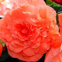 Begonia (Tuberous) - What to Plant in the Shade - Sunset