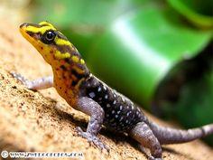 (Dwarf Gecko) Gonatodes caudiscutatus (Male)