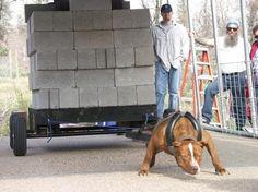 Pitbull Puppy Weightpulling Training