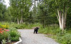 Visit the Alaska Botanical Garden in Achorage and you may encounter a bear! With over 1,100 species of hardy perennials, and 150 native plant species, the Alaska Botanical Garden is the place to experience the abundance of the summer sub-arctic growing season and to learn about flora native to southcentral Alaska.