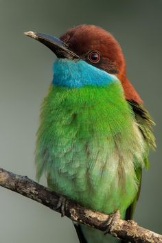 The Blue-throated Bee-eater (Merops viridis) is a species of bird in the Meropidae family. It is found in Brunei, Cambodia, China, Hong Kong, Indonesia, Laos, Malaysia, the Philippines, Singapore, Taiwan, Thailand, and Vietnam.