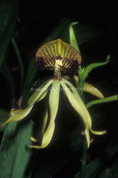 Encyclia cochleata Orchid Species | Cockleshell Orchid example of non-resupinate orchid, single solitary orchid flower