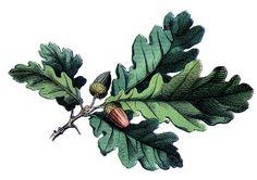 Antique Botanical Image - Oak Leaves with Acorns - The Graphics Fairy