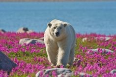Polar Bear Tour in Churchill, Manitoba, Canada... this tour has been on my bucket list for months! It will happen one day <3