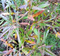 Comptonia peregrina - fern-like scented foliage for sun or part shade Trees And Shrubs, Trees To Plant, Nitrogen Fixing Plants, Ferns, Leaves, Flowers, Shrubs, Tree Planting, Royal Icing Flowers