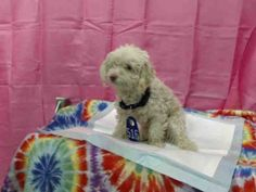 This DOG-ID#A595990  I am a male, white Poodle - Toy.  The shelter staff think I am about 3 years old.  I have been at the shelter since May 31, 2014.  This information was refreshed 1 minutes ago and may not represent all of the animals at the San Bernardino County - Devore Shelter.