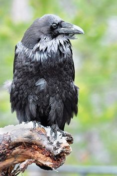 Raven's roost. Photo by Ken Levy  I love how close up the photographer got to this Corvid!