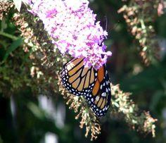 Monarch on Buddleia (purple Butterfly Bush).