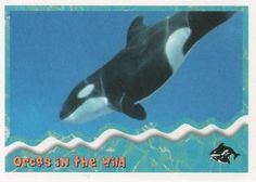 1995 SkyBox Free Willy The Adventure Home Orcas in the wild: dolphin family Front Dolphin Family, Free Willy, Sports Gallery, Orcas, Trading Card Database, Trading Cards, Dolphins, Whale, Adventure