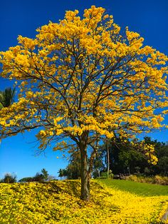 Beautiful tree in Hilo hawaii Trees And Shrubs, Flowering Trees, Trees To Plant, Unique Trees, Colorful Trees, Beautiful Landscape Wallpaper, Beautiful Landscapes, Yellow Tree, Fast Growing Trees