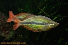Axelrodi Rainbowfish