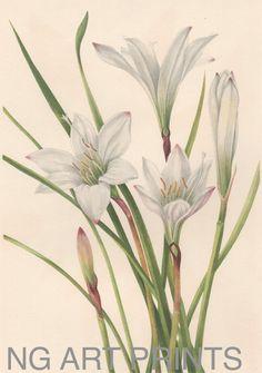 1920s Botanical Print, White Lily by NGArtPrints http://etsy.me/1l1Zwmw via @Etsy