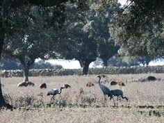 birdwatching cranes