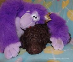 """""""Pals Forever""""  Olympic Labradoodles. Roanna & Khalanee, Blue Boy.  www.olympiclabradoodles.com"""