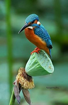 Pretty Birds, Beautiful Birds, Animals Beautiful, Common Kingfisher, Kingfisher Bird, All Birds, Birds Of Prey, Exotic Birds, Colorful Birds