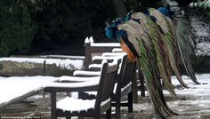 March - 2013 unusual winter in UK. Lining up: The five peacocks all stand on the benches at Warwick Castle, Warwickshire