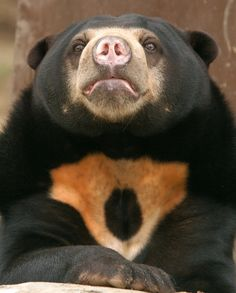 The sun bear (Helarctos malayanus) is the smallest species of bear. Found primarily in the tropical rainforests of Southeast Asia. Up in trees, the sun bear is the most agile of all bear species. Adult sun bears have few predators except humans, due to their fierce reputation and formidable teeth. Classified as vulnerable status in 2007 is now endangered from widespread poaching driven by the market for their fur and for their bile, which is used in Chinese medicine.