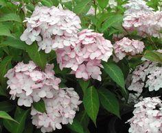 Hydrangea serrata 'Little Geisha' Love Flowers, Beautiful Flowers, Hydrangea Serrata, Hydrangea Flower, Garden Gates, Geisha, Flower Power, Planting Flowers, Lilac