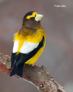 evening grosbeak, mike veltri, beauti bird, birds, algonquin park ontario