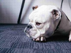 Sad Bulldog pet