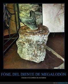 FÓSIL DEL DIENTE DE MEGALODÓN - Clavado en la vértebra de una ballena