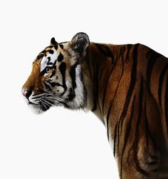 Mike the Tiger, LSU // Live SEC Mascots by Jamie Chung