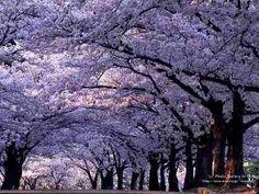 sementes kiri japonês paulownia tomentosa princess mudas