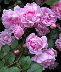 Pink rambling roses