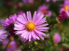 Kuvia neljästä vuodenajasta: Syysasterit Flowers, Plants, Plant, Royal Icing Flowers, Flower, Florals, Floral, Planets, Blossoms