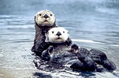 "Sea otters are at the top of the marsh food chain and eat large species of crabs. These crabs feed on small ""micro-grazers"" that help to control algae. Algae has the potential to take over an entire marine ecosystem, taking up all the water's oxygen and blocking out sunlight for plants and animals."