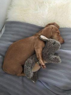 Cute Dachshund dog sleeping with stuffed bunny