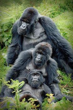Amahoro-group of mountain gorillas.