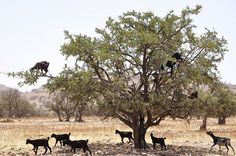 Goats in argan trees, Sousse, southern Morocco (4) -