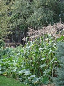Plant corn in a 2-3 ft diameter basin (4 inches deep) with plants spiraling toward the middle for max water use and max pollination in dry climates or small spaces.