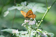 Unterwegs auf dem Rundweg Darßer Ort im Nationalpark Vorpommersche Boddenlandschaft | Schmetterling Kaisermantel auf Brombeerblüten (c) FRank Koebsch (4)