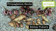 Yacon edible and propagation roots/tubers