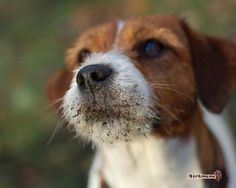 prettie-sweet:  (via Jack Russell Terrier Dogs | Everything animals)