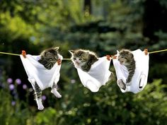 Cute Kittens in Underwear on a Clothesline - Kitty cat laundry! Funny cat pictures - cute kitty cats and kittens, funny animal pics, lolcats, catlove, cat lover. Cute Kittens, Little Kittens, Cats And Kittens, Baby Kittens, Kitty Cats, Animals And Pets, Baby Animals, Funny Animals, Cute Animals