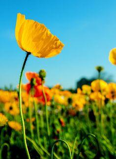 Yellow Poppy Flower by OKAWA โอ๋กะหว้า. somchai on 500px