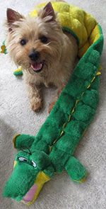 CPCRN : KELVIN, male, 20 lbs., FL.  Is that not the cutest face?  This boy LOVES toys and alligator wrestling.  Read more about him at cairnrescue.com and fill out your application!