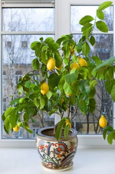 Indoor fruit trees.