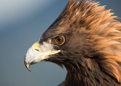 Hohe Auszeichnung - Villacher Stadtwappen für Adler Arena Burg Landskron - Adlerarena Landskron Eagles, Bald Eagle, Animals, Wildlife Conservation, Villach, Wild Animals, Road Trip Destinations, Hiking, Animais