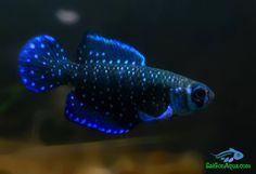 Tropical Aquarium, Tropical Fish, Wild Animals Pictures, Animal Pictures, Different Fish, Freshwater Aquarium Fish, Ocean Creatures, Beautiful Fish, Cichlids