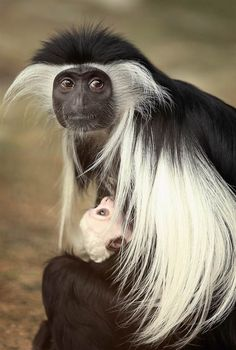 Mindful mother  On March 27, Olivia, a 5-year-old Angolan colobus monkey, clutches her baby on March 27 at the Brookfield Zoo in Illinois. The baby was born on March 9.