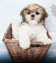 Cute Shih Tzu Puppies Names - Bing Images