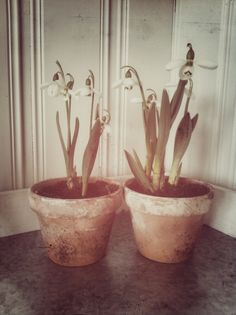 Snowdrops in My kitchen