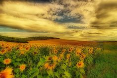 Sunflowers by scarbody, via Flickr.