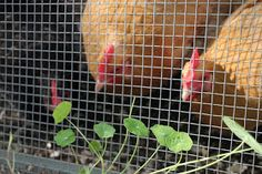 If you garden in raised gardening beds, why not devote one just to the hens? You can harvest from your plantings a few times of weeks and share it with the flock. Or this year, why not try planting around and near the coop just for the flock. There are plenty of wonderful herbs, vegetables and berries that your flock will love.  Once your chicken garden grows, you can easily pick, take clippings or allow them to carefully free-range among the plantings.