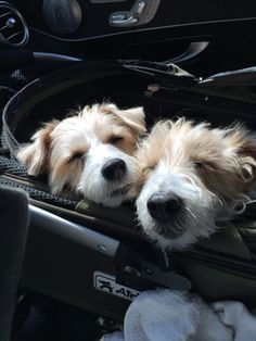Doggies, Pet Dogs, Dog Cat, Baby Animals, Funny Animals, Cute Animals, Cute Puppies, Dogs And Puppies, Sleepy Dogs
