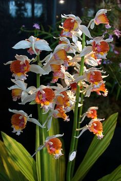 Orchid: Gastrorchis tuberculosus - Flickr - Photo Sharing!